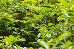 Stenfrukt-Cocculus orbiculatus L DC fotografering för bildbyråer
