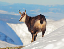 Stenget - rupicapra, Tatras Arkivbilder