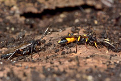 Stenichneumon culpator and Ichneumon stramentor Royalty Free Stock Image