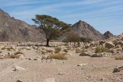 Stenig ökenlandskappanorama med att växa för akaciaträd royaltyfri fotografi