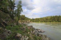 Stenig kust av en bergflod Katun med skogen Royaltyfri Bild