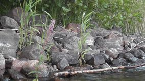 Stenig kust av en ren skandinavisk sjö lager videofilmer
