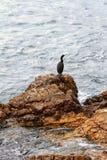 Stenig kust och kormoran Palma de Majorca Spanien Arkivfoto
