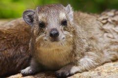 stenig serengeti för hyraxnationalpark Arkivbilder