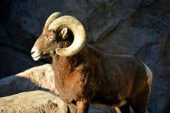 steniga får för bighornberg Arkivbilder