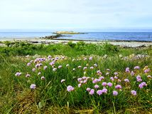 Steninge beach in the spring Sweden. Pink flowers in the foreground of an empty beach with a small bridge leading to a small rocky island Stock Image