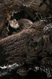 Stenmård - Martesfoina, av ett träd, nattligt däggdjur royaltyfri foto