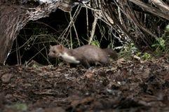 Stenmård - Martesfoina, filialerna av ett träd, nattligt däggdjur fotografering för bildbyråer