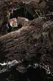 Stenmård - Martesfoina, filialerna av ett träd, nattligt däggdjur arkivbilder