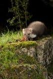 Stenmård - Martesfoina, nattligt däggdjur arkivbilder