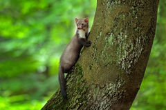 Stenmård, detaljstående av skogdjuret Litet rovdjurs- sammanträde på trädstammen med grön mossa i skogdjurlivplats Royaltyfri Bild