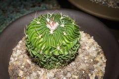 Stenocactus kaktusy Obraz Royalty Free