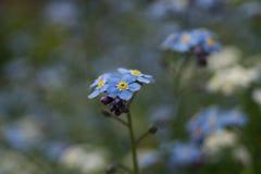 Stenophylla de Myosotis Photographie stock libre de droits