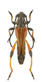 Stenopterus atricornis Royalty Free Stock Images
