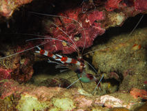 Stenopus hispidus, Boxer Shrimp. In the coral reef Royalty Free Stock Photo