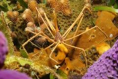 Stenorhynchus-seticornis Krabbe mit den langen Beinen Lizenzfreie Stockfotos