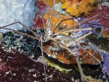 Stenorhynchus seticornis, the yellowline arrow crab Stock Images