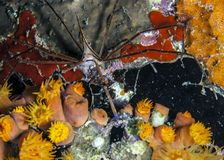 Stenorhynchus seticornis, yellowline arrow crab Stock Image