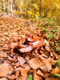 Stensoppchampinjon som växer i plockning för höstskogchampinjon royaltyfri bild