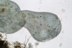 Stentor或喇叭微动物的形状变革 过滤器哺养的微生物,异养原虫有睫 免版税库存照片
