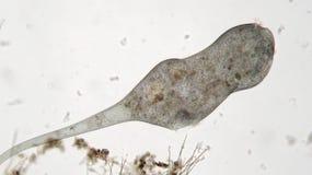 Stentor或喇叭微动物过滤器哺养,异养原虫有睫 延长的微生物紧固和  免版税库存图片
