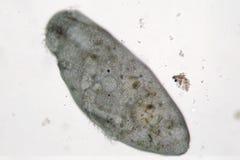 Stentor ou os animálculos da trombeta filtro-estão alimentando, movimentos ciliate do protozoário heterotrófico em de água doce Fotos de Stock