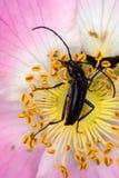 stenurella nigra Стоковые Изображения