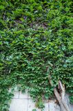 Stenvägg med den gröna murgrönan Arkivfoto