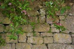 Stenvägg med den gröna växten Royaltyfria Bilder