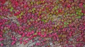 Stenväggen som fick en murgröna med höstsidor av röd färg Arkivfoto