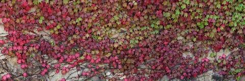 Stenväggen som fick en murgröna med höstsidor av röd färg Royaltyfria Foton