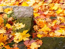 Step in autumn. Maple leaves around royalty free stock images