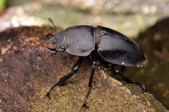 A step Coleoptera Stock Photography