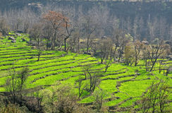 Step farming in  district of Kangra, himachal prad. Rural scenic Step farming  in  himalayan town of Dharamsala district Kangra, Himachal Pradesh India Stock Images