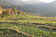 Step farming of wheat in Hilly state Himachal in India Royalty Free Stock Image