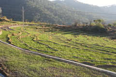 Step farming of wheat in Hilly state Himachal in India Stock Photography