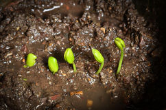 Step of growing tamarind sprout. Royalty Free Stock Images