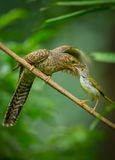 Step mother of Common Tailorbird feeding insect to the young Plaintive Cuckoo Royalty Free Stock Photography