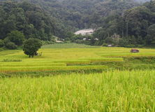 Step paddy field Stock Photography