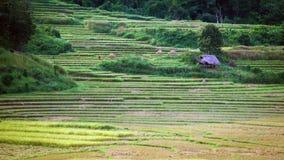 Step on rice farm Stock Image