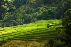 Step rice farming plantation Stock Photography