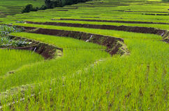 Step rice farming plantation Royalty Free Stock Images