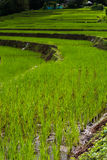 Step rice farming plantation agriculture Stock Image
