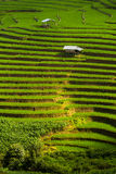 Step rice farming plantation agriculture Stock Images