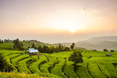 Step of rice field. Royalty Free Stock Image