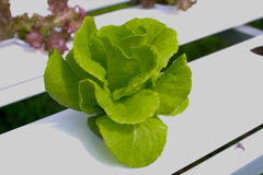 The Step set grown vegetable Hydroponic And How to grow carefully. Stock Photography
