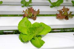 The Step set grown vegetable Hydroponic And How to grow carefully. Royalty Free Stock Photography