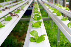 The Step set grown vegetable Hydroponic And How to grow carefully. Stock Photos