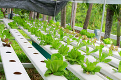 The Step set grown vegetable Hydroponic And How to grow carefully. Stock Photo