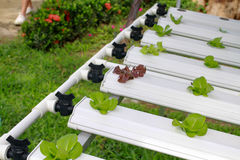 The Step set grown vegetable Hydroponic And How to grow carefully. Stock Image